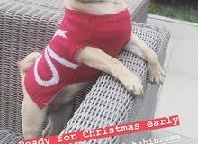 للبيع كلب نوعيه pug عمره 6 اشهر مع كامل اوراقه وجواز سفره وارد من اوكرانيا pug