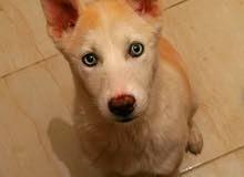 كلب انثى هاسكي عيون زرق للبيع 3 شهور
