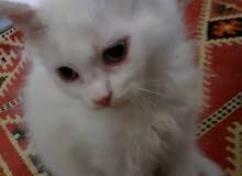 قطط شيرازي أميركي