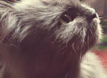 قطوسة فارسية