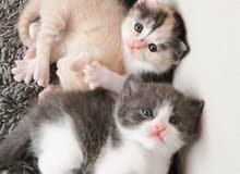 kittens turkish angora 1 month old