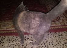 قطه انثى لبيع. عرطه