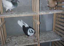 بسم الله ما شاء الله 3طيور حمام وطير ضرب شفر للتواصل:  0789147800 (الموقع الزرقا