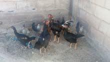 ديك مع 4 دجاجات باكستاني للبيع