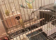 مجموعه طيور الحب