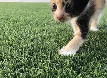 قط شيرازي صغير انثى