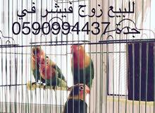 طيور فيشر للبيع