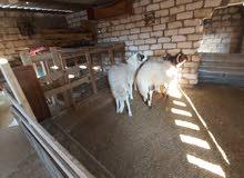 خروف وطني سناه ثني