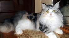 Female Shirazi Cat