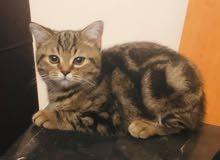 Scottish Straight Kitten 4 months