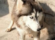 كلب هاسكي للبيع العمر 8 شهور السعر 250 وبي مجال قليل الشراي يدلل يجي خاص