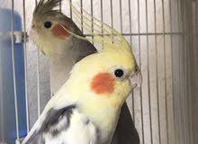 Male female cocktiel sale Aed 400 . 1.5 years old