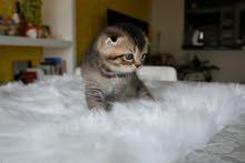 Scottish fold kitten / قطط صغيرة سكوتيش فولد
