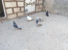 طواير للبيع شغالت في جبل فيصل