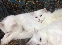 Pure white cats