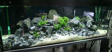 احجار بازلت لديكورات أحواض السمك و النباتات Basalt rook for fish tanks