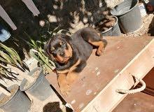 كلب روت وايلر عمر 3 اشهر نقي 100%