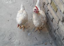 دجاج مصلحه انثى وذكر للبيع