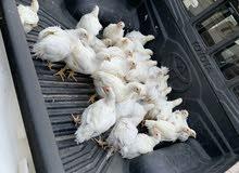 دجاج أبيض لاحم