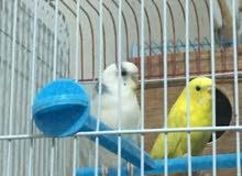 كوبيا بقلينو الأنثى لون اصفر والذكر ابيض + 2 ذكور اللون ازرق
