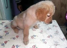 femail Golden Retriever Puppies-  نتايه جولدن ريتريفر