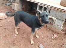كلاب جيرمن شدر الماني مدردح عمرها سبع شهور للبيع 1200سك