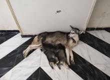 كلاب ملاميوت وهاسكي