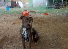 كلبه بيتبول العمر 5شهور
