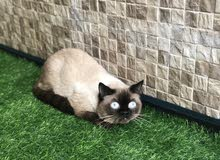 قط سيامي نادر للبيع Siami cat for sale