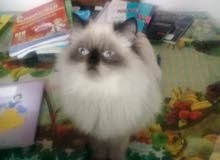 قطط هيملايا شوكليت هاف بيكي