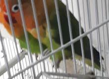 زوج طيور الحب من نوع فيشر