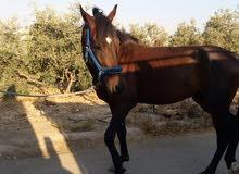 حصان اصيل عمر ثلاث سنوات