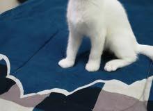 قطه صغيره شيرازي امريكي عيون زرق مع اغراضها