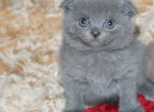 قطط سكوتش فولد بيور للبيع