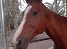 حصان أنجليزي