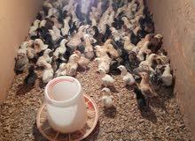 one week old chicken..