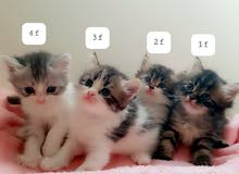 pure persian cats 4 sale / male&female/2 month / fixed price and not negotiable