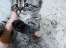 قطة شانشيلا العمر شهر واسبوع