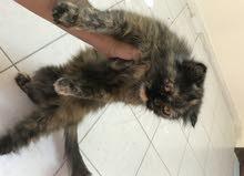 قطه شيرازيه حامل مع الجواز