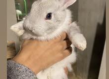 ارانب اليفه شينشيلا