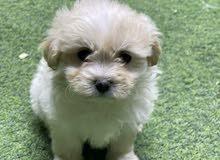 كلب مالتيز بيور حجم صغير