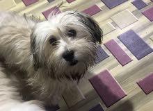 كلبه نوع تيرير ستة اشهر لون برونزي كلش حلوة ولعوبة ملقحه وكامله مع جرعة ديدان