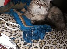 قطط هملايا من ام هملايا وأب شانشيلا