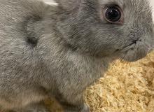 ارنب للبيع الدمام
