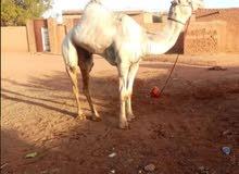 زمول للبيع الموقع السودان ويوجد بكار في الامارات والسعوديه وتساب 00249993862106