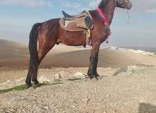 حصان للبيع عمر 5 سنوات قطعه وخشن كفاله على العودين