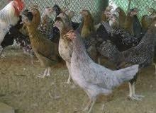 للبيع دجاج محلي