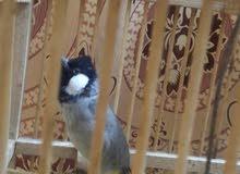 بلبول فحل ربة تغريد فول يطلع خارج القفص سعر75 او مراوس بطيور حب رينبو