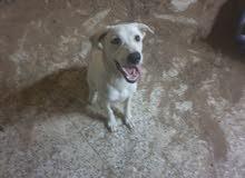 كلب لابردور عمر 5 شهور