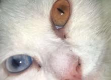 قطه شيرازيه عين لونين